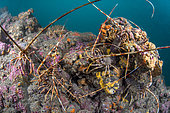 Rock lobster (Palinurus elephas) on a coralligenous plateau massif, in the Marine Protected Area of the Agathe Coast, Hérault, Occitanie, France