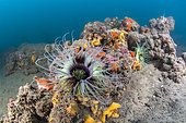 Cerianthus (Cerianthus membranaceus) on a coralligenous outcrop off Agde, Marine Protected Area of the Agathe Coast, Hérault, Occitanie, France