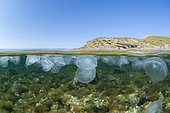 Mid-air mid-water view of Aurelia aurita (Aurelia aurita) jellyfish bank below the surface, on the Yıldızkoy bay underwater trail, in the marine protected area of Gokceada Island, Turkey