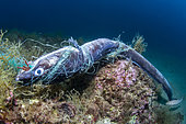 Conger Eel (Conger conger) trapped in an abandoned net, Calella de Palafrugell, Costa Brava, Catalonia, Spain