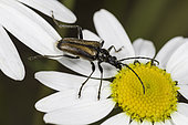 Acmaeops Flower Longhorn Beetle (Acmaeops proteus), Rocky Mountain National Park, Colorado.