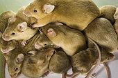 Many lab mice.
