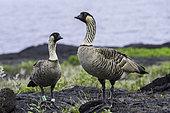 Hawaiian Goose, Nene (Branta sandvicensis), Big Island, Hawaii.