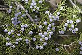Cherrystone Juniper (Juniperus monosperma), New Mexico.