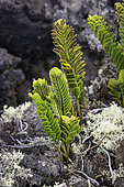 Kupukupu Fern (Nephrolepis cordifolia), Big Island, Hawaii. This fern is noted for being a pioneer species along with lichens on new lava fields.