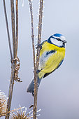 Blue tit (Cyanistes caeruleus) by a very cold day, Slovakia
