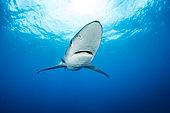 Blue shark (Prionace glauca) Pico Island, Azores, Portugal, Atlantic Ocean
