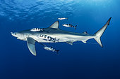 Blue shark (Prionace glauca) with fishing hook and Pilot fish (Naucrates ductor), Pico Island, Azores, Portugal, Atlantic Ocean