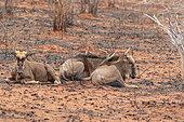 Blue Wildebeest (Connochaetes taurinus) resting in savannah, Southern Africa
