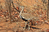 Red-crested bustard (Lophotis ruficrista) on the ground, Southern Africa