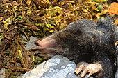 Blind Mole (Talpa caeca), Abruzzo National Park, Italy