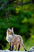 Red fox (Vulpes vulpes) young in afternoon, Slovakia