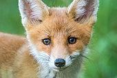 Renard roux (Vulpes vulpes) jeune, Slovaquie