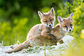 Red fox (Vulpes vulpes) youngs in afternoon, Slovakia