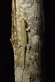 Peters's spotted gecko, Fish-scale gecko (Geckolepis maculata) in dry forest at night, Kirindy Forest, Menabe Region, Madagascar