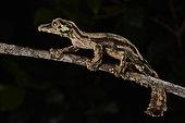 Mossy leaf-tailed gecko, Flat-tailed gecko (Uroplatus sikorae) at night in tropical rainforest, Andasibe (Périnet), Alaotra-Mangoro Region, Madagascar