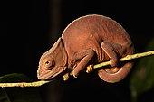 Parson's chameleon (Calumma parsonii) immature forest, Andasibe (Périnet), Alaotra-Mangoro Region, Madagascar
