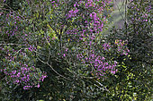 Dichaetanthera (Dichaetanthera oblongifolia) Arbre en fleurs dans la forêt tropicale humide, Andasibe (Périnet), Région Alaotra-Mangoro, Madagascar