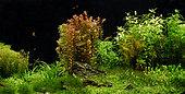 Aquascape, Denison barbs (Sahyadria denisonii)