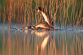 ritual of mating of great crested grebein in early spring. podiceps cristatus great crested . fernan caballero ciudad real spain