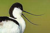 Portrait of Pied Avocet (Recurvirostra avosetta) in river Guadiana, Daimiel, Ciudad Real, Castilla la Mancha, Spain