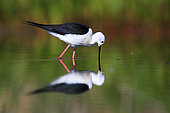 black winged stilt early in the morning on the guadiana river in spring himantopus himantopus daimiel, ciudad real castilla la mancha april spain