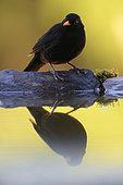 Reflection of Common Blackbird (Turdus merula) in a pond summer, Yebes, Guadalajara, Castilla la Mancha, Spain