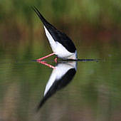 Black winged Stilt (Himantopus himantopus) early in the morning on the Guadiana river in spring, Daimiel, Ciudad Real, Castilla la Mancha, Spain