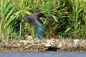 Flight of Glossy ibis (Plegadis falcinellus) in Guadiana river in spring, Daimiel, Ciudad Real, Spain