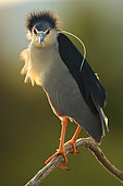 Portrait of Night heron (Nycticorax nycticorax) in a sunset in spring, Daimiel, Ciudad Real, Castilla la Mancha, Spain
