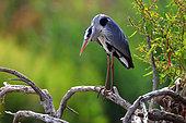 Grey Heron (Ardea cinerea) fishing in Guadiana river in spring, Daimiel, Castilla la Mancha, Spain