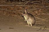 Malagasy Giant Jumping Rat (Hypogeomys antimena) at night, Kirindy Forest, Menabe Region, Madagascar