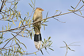 Guira Cuckoo (Guira guira) on a branch, Costanera Sur Ecological Reserve, Buenos Aires, Argentina