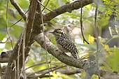 Checkered Woodpecker (Veniliornis mixtus) on a branch, Costanera Sur Ecological Reserve, Buenos Aires, Argentina