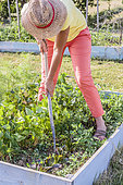 Woman weeding in a small vegetable patch in summer.