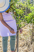 Woman tying a young fruit tree to a stake.