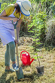 Woman planting a fig tree 'Ice Crystal', in summer.