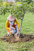 Woman bringing sulfur powder at the foot of an apple tree to acidify the soil and correct the pH, in very calcareous soil.