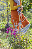 Woman planting a colorful chrysanthemum to brighten up a massif before autumn.