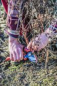 Coupe à ras de sédum (Hylotelephium spectabile) en hiver.