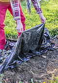 Weeding with an opaque tarpaulin: Weeds such as bindweed are etiolated.