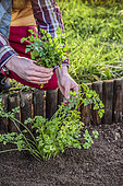 Harvest of flat parsley in the garden