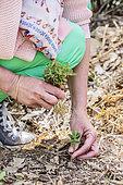 Spontaneous seeding of euphorbia, invasive in gardens.