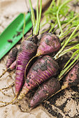 Carrot with red skin and orange flesh 'Purple Haze', short and pointed root