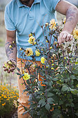 Man cleaning the faded flowers of a dahlia
