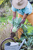 Man harvesting a kohlrabi