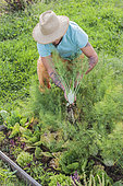 Man harvesting fennels in a mini vegetable garden