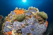 Rock colonized by the bluish encrusting sponge (Phorbas tenacior), Bastia, Haute-Corse.