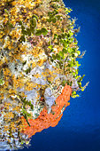 Overhang colonized by the bluish encrusting sponge (Phorbas tenacior) and the orange-red encrusting sponge (Crambe crambe, the yellow encrusting anemone (Parazoanthus axinellae) and the seaweed Halimedes (Halimeda tuna), Bastia, Haute-Corse.