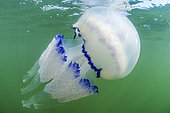 Large jellyfish (Rhizostoma pulmo) under the surface in the port of Leucate, Aude, Occitanie, France